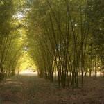 Reforestación con bambú